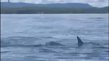 DISTURBANCE: The dorsal fin of the hammerhead shark in the video taken on January 3. One of Eraring power station's two stacks can be seen behind the shoreline to the left.