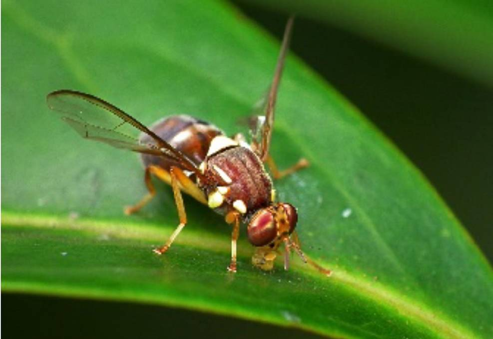 BUZZING ABOUT: Queensland fruit fly. Picture: Supplied